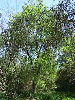 Leatherleaf Ash Tree Foundation Of Kern About The Tree